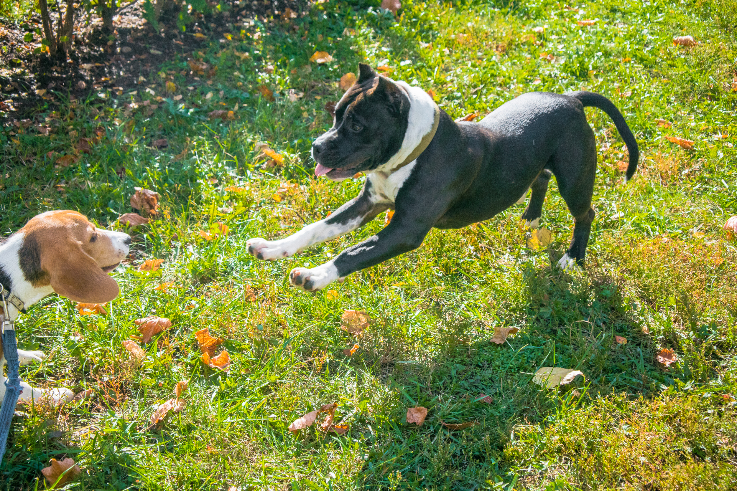 Staffordshire Terrier in the autumn Park