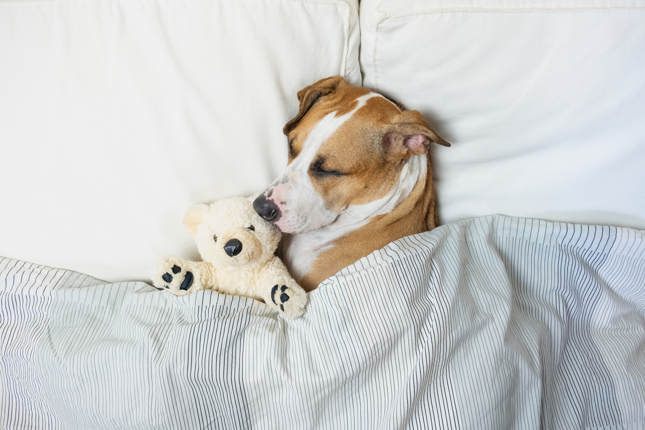 Staffordshire terrier puppy resting in clean white bedroom at home